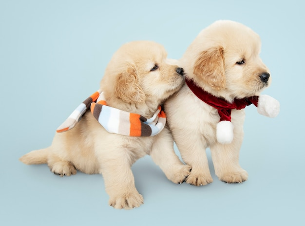 Two golden retriever puppies wearing scarves Free Photo