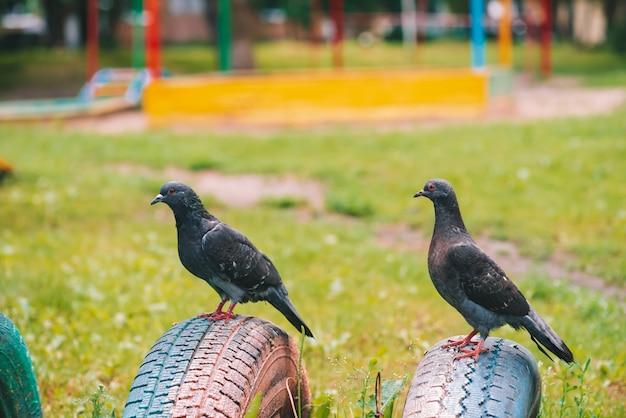 2 серых голубя на заборе на красочной спортивной площадке в солнечном дне. городские птицы крупным планом. серо-черные летающие животные на фехтовании. Premium Фотографии