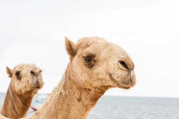 Due teste di cammelli su uno sfondo dell'oceano Foto Gratuite
