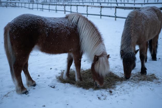 スウェーデン北部の冬に干し草を食べる2頭の馬 無料写真