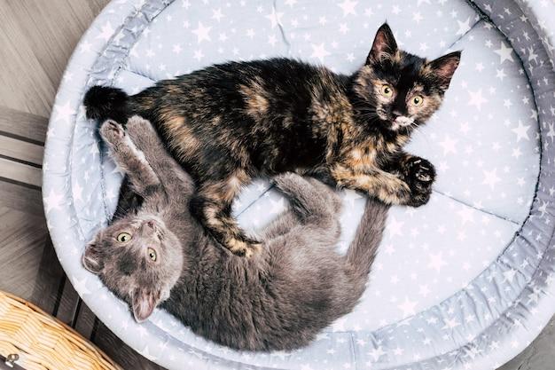 2匹の子猫がベッドに横たわっています。ペット。高品質の写真 Premium写真