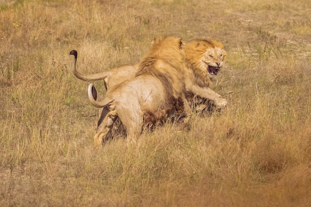 Two lions in the wild are fighting. beautiful lions loose Premium Photo
