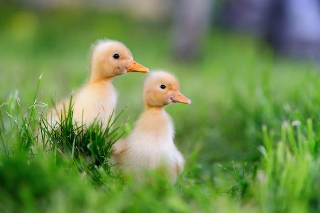 緑の草の上の2つの小さな黄色いアヒルの子 無料写真