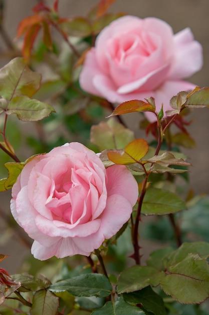 2つのピンクの茂みのバラのつぼみ Premium写真
