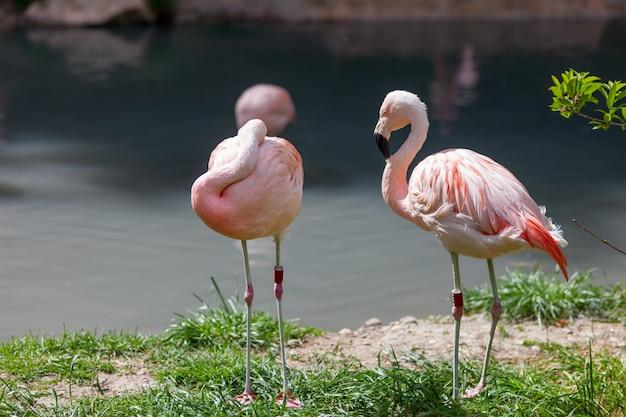 2つのピンクのフラミンゴ 無料写真
