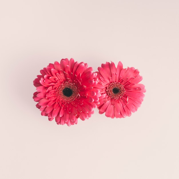 Two pink gerbera flowers on light table Free Photo