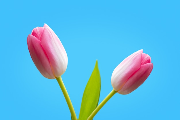 Two pink tulips isolated on blue background Premium Photo