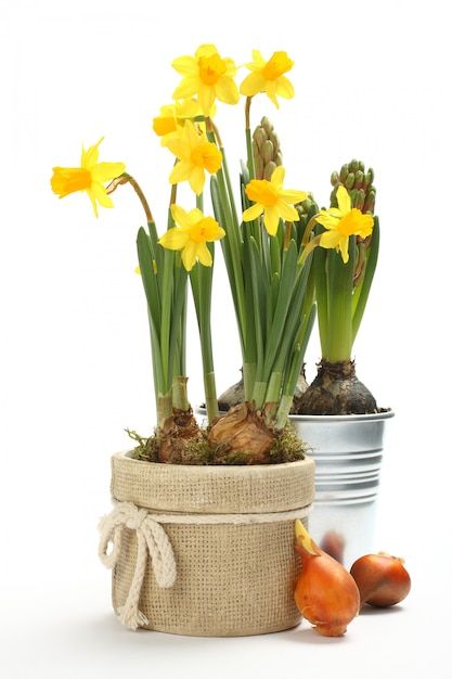 Two pots with young spring flowers over white Premium Photo