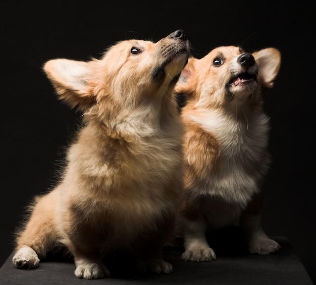 Two puppies. close up Premium Photo
