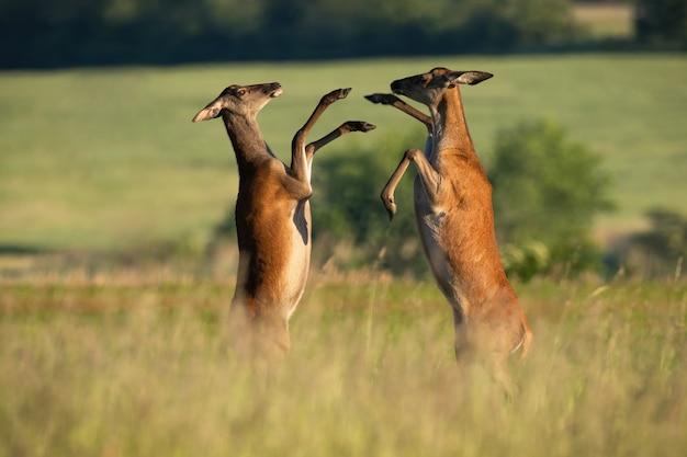 Две лани благородных оленей дерутся на лугу в летней природе Premium Фотографии