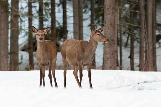 冬の自然の中で雪に覆われた牧草地に立っている2つのアカシカの後ろ Premium写真
