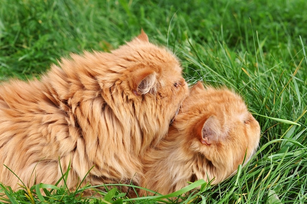 2匹の赤い面白いペルシャ猫が緑の草に横たわっています Premium写真