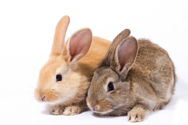 Two small fluffy red bunny Premium Photo