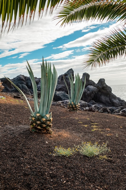 Two small palm trees growing in an arid zone Premium Photo