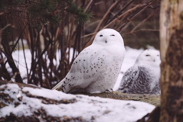 冬の森に座っている2つのシロフクロウ 無料写真