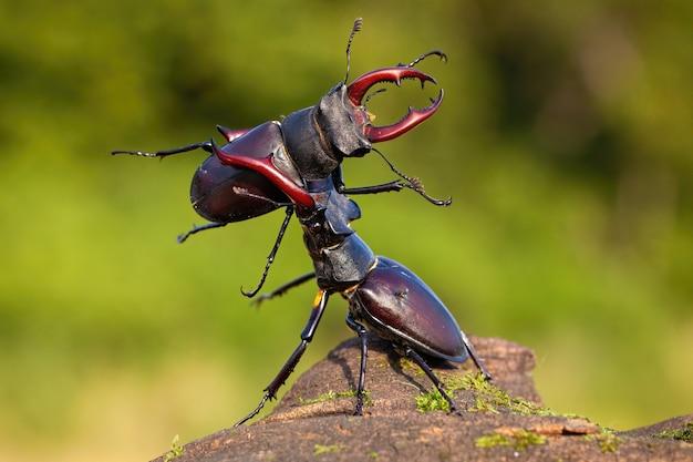 Два жука-оленя оспаривают свою власть над территорией Premium Фотографии