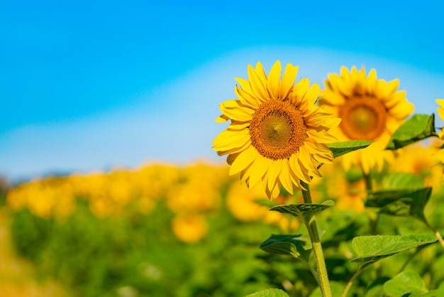Two sunflowers are depicted on the background of a field and a blue sky in the summer. close-up Premium Photo