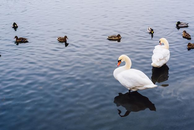2羽の白鳥が水中に立ち、アヒルが背景で泳ぎます。左側のコピースペース。 Premium写真