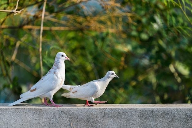 Two white dove walking on wall Premium Photo