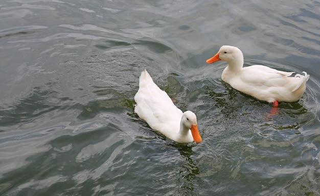 Two white ducks swimming in the pond Premium Photo