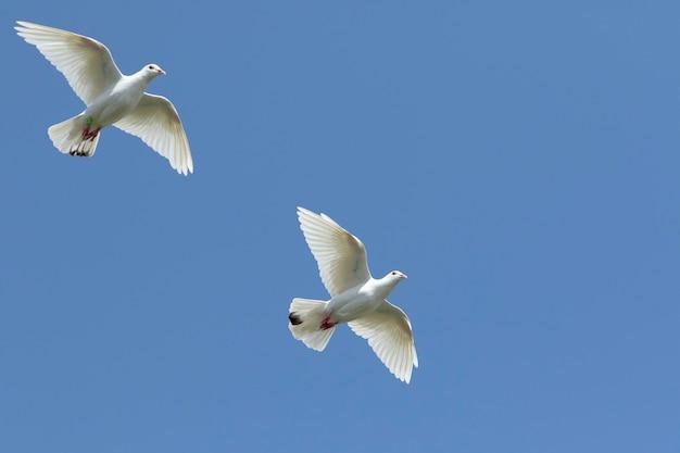 Два белых перья самонаводящих голубей летят на фоне ясного голубого неба Premium Фотографии