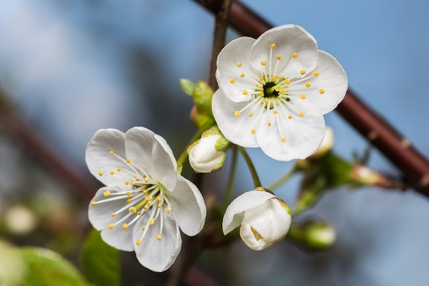 Two white flower and buds cherry closeup on blue sky background Premium Photo