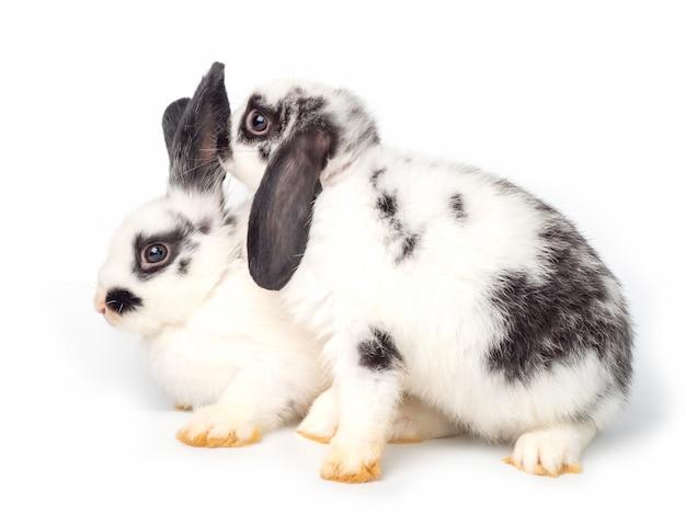 Two white young rabbit acting like whispering on white Premium Photo