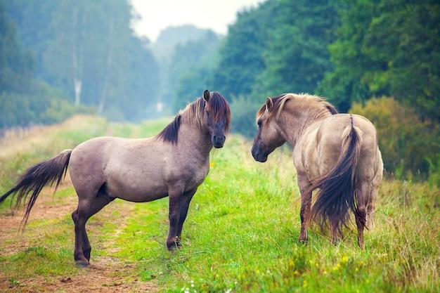 森の空き地にいる2頭の野生の馬。ラトビアのパペ自然公園 Premium写真