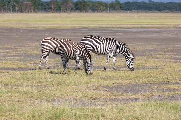 草原、アフリカの2つのシマウマ。ケニア 無料写真