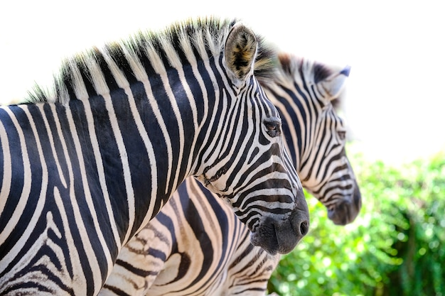 Two zebras playing with each other, south africa. Premium Photo