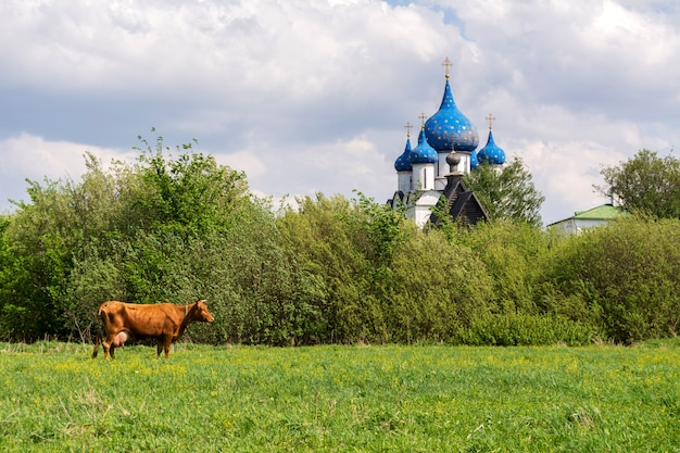 Typical russian landscape. cow grazing in the meadow. the domes of the church can be seen in the distance. suzdal, russia Premium Photo