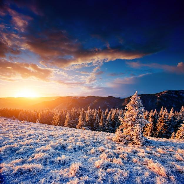 魔法の冬の雪に覆われた木。カルパティア山脈の夕日。 ukr Premium写真