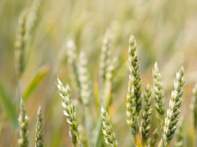 Несосредоточенное поле пшеницы крупным планом Бесплатные Фотографии