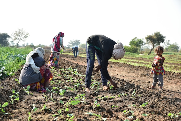 Unidentified indian farm worker planting cabbage in field and holding bunch of small plant of cabbage in hands at the organic farm. Premium Photo