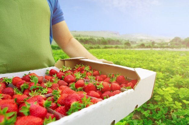 Unrecognizable man holding a box with fresh ripe strawberries in a filed Premium Photo