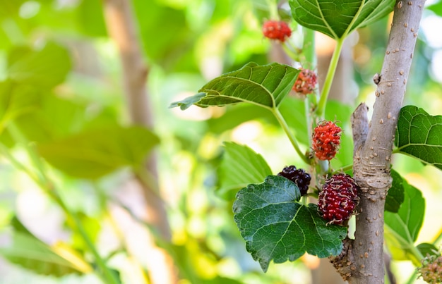 Unripe red and black mulberries fruit on its tree Premium Photo