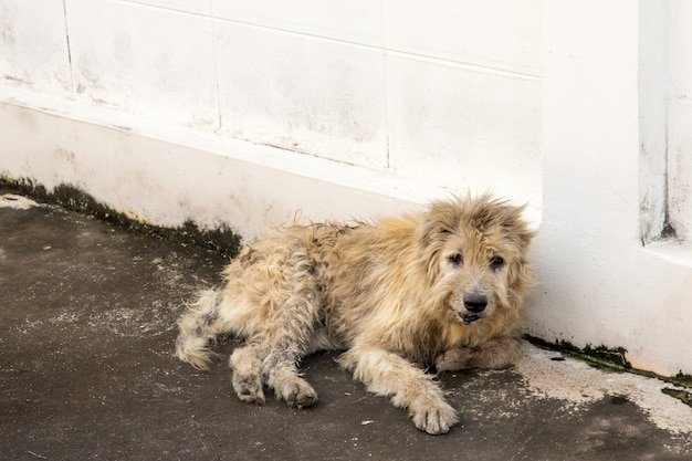 Vagrant dog squat outside watching staring at camera. the dog looking at photographer,stray dog,homeless dog Premium Photo