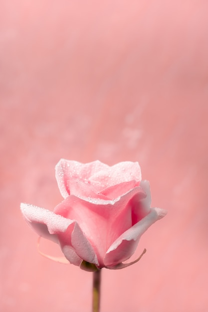 Valentine's day, roses on the day and month of love Premium Photo