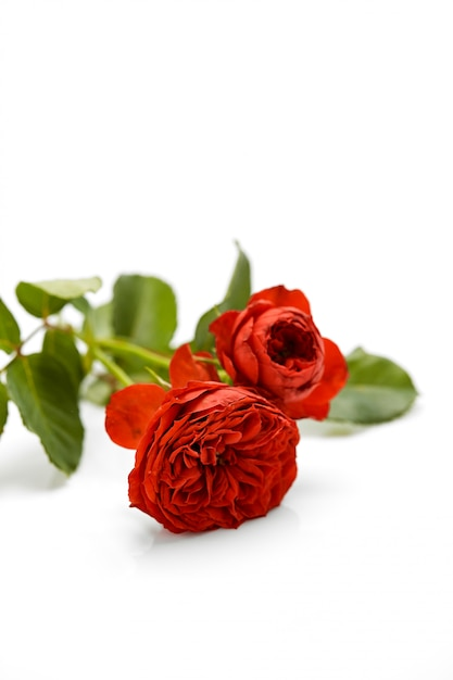 Valentines day red rose with leaves Premium Photo