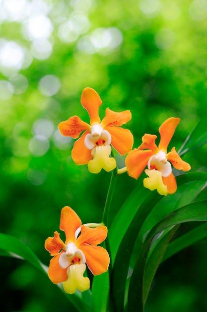 Vanda denisoniana orchid (orchidaceae) on nature in the garden. Premium Photo
