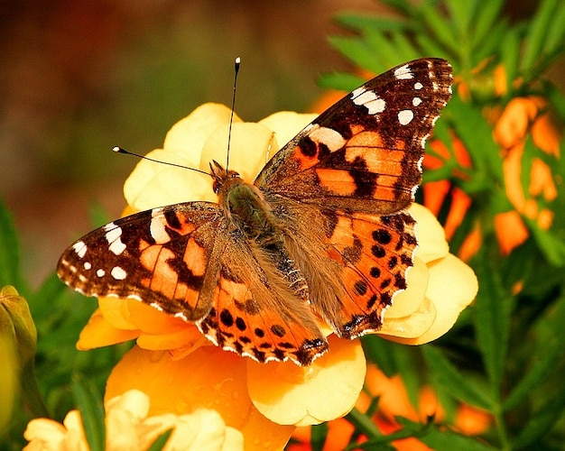 Vanessa butterfly insect moth painted lady cardui Photo ...