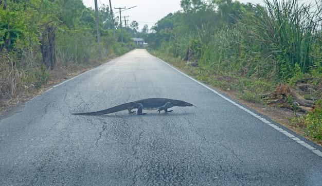 Varanus slowly crawl on the road, focus selective Premium Photo