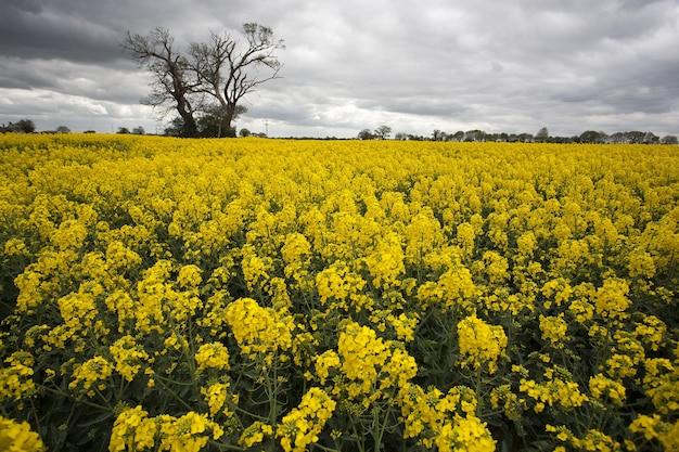 Vasto campo di colza gialla e un unico albero a norfolk, regno unito Foto Gratuite