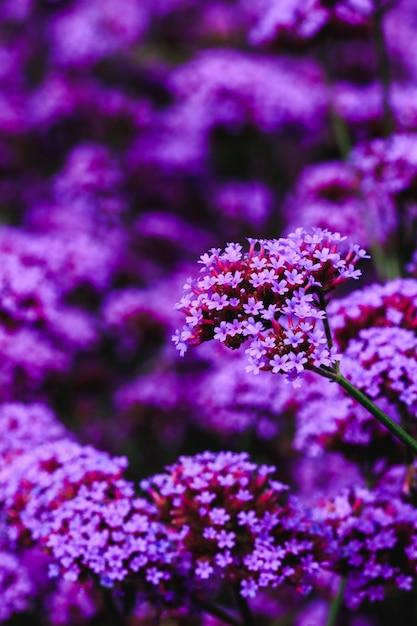 Verbena is blooming and beautiful in the rainy season. Premium Photo