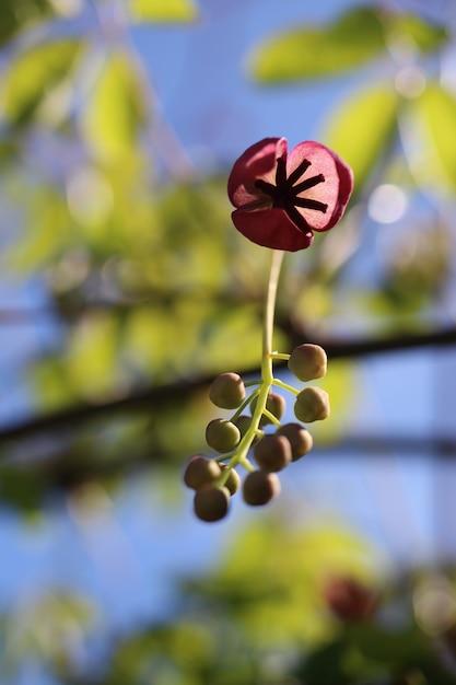 Colpo verticale del primo piano di un fiore di akebia con uno sfondo sfocato Foto Gratuite