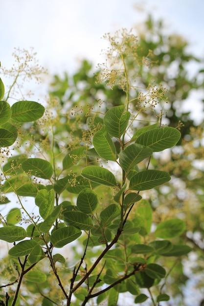 Colpo verticale del primo piano di bei fiori di cotinus coggygria Foto Gratuite