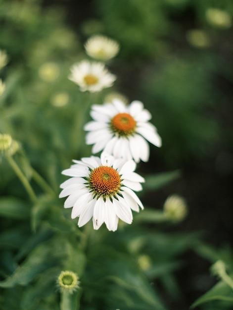 Colpo verticale del primo piano dei fiori di fioritura del cono bianco Foto Gratuite