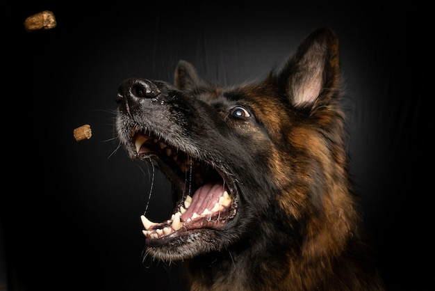 Vertical closeup shot of a brown dog catching dog food in his mouth Free Photo