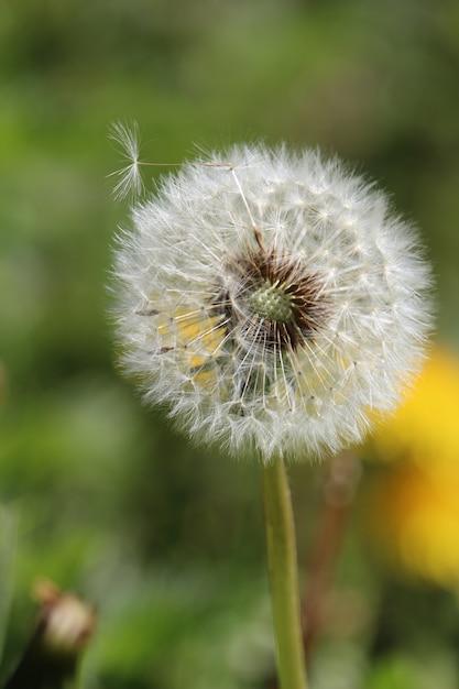Vertical closeup shot of a dandelion Free Photo