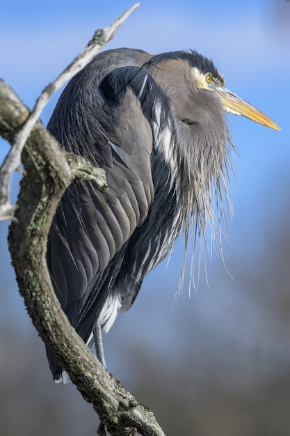 Vertical closeup shot of a great blue heron on a tree branch Free Photo